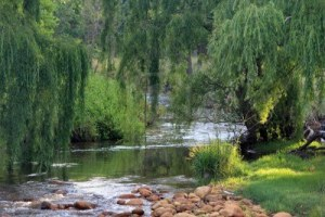 willow trees by water