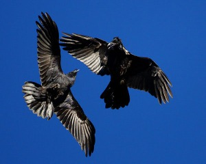 ravens in flight