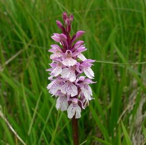 wild orchid-even Solomon in all his glory.....
