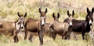 Donkeys2-420x0 (1)