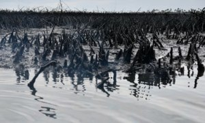 polluted mangrove swamp in Bodo, Niger