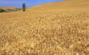 barley-album