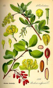 Berberis or Barberry Bush that sweetens brackish water