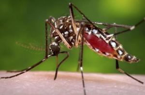 CDC handout shows a female Aedes aegypti  mosquito